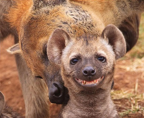 sourire-hyene